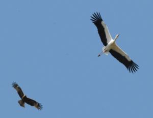 馬尻の鳥たち(コウノトリとクマタカ)